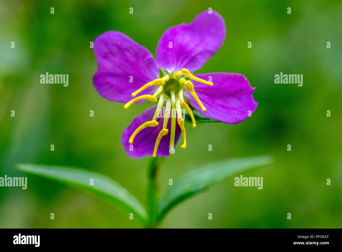 Virginia Meadow Beauty Flower (Shallow Depth-of-Field) - DuPont State Recreational Forest, near Brevard, North Carolina, USA Stock Photo