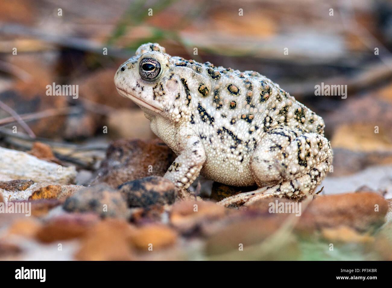 Toad Species (bufonidae) at Rock Town Natural Area - Lucas Park, Wilson Lake, Kansas - Stock Image