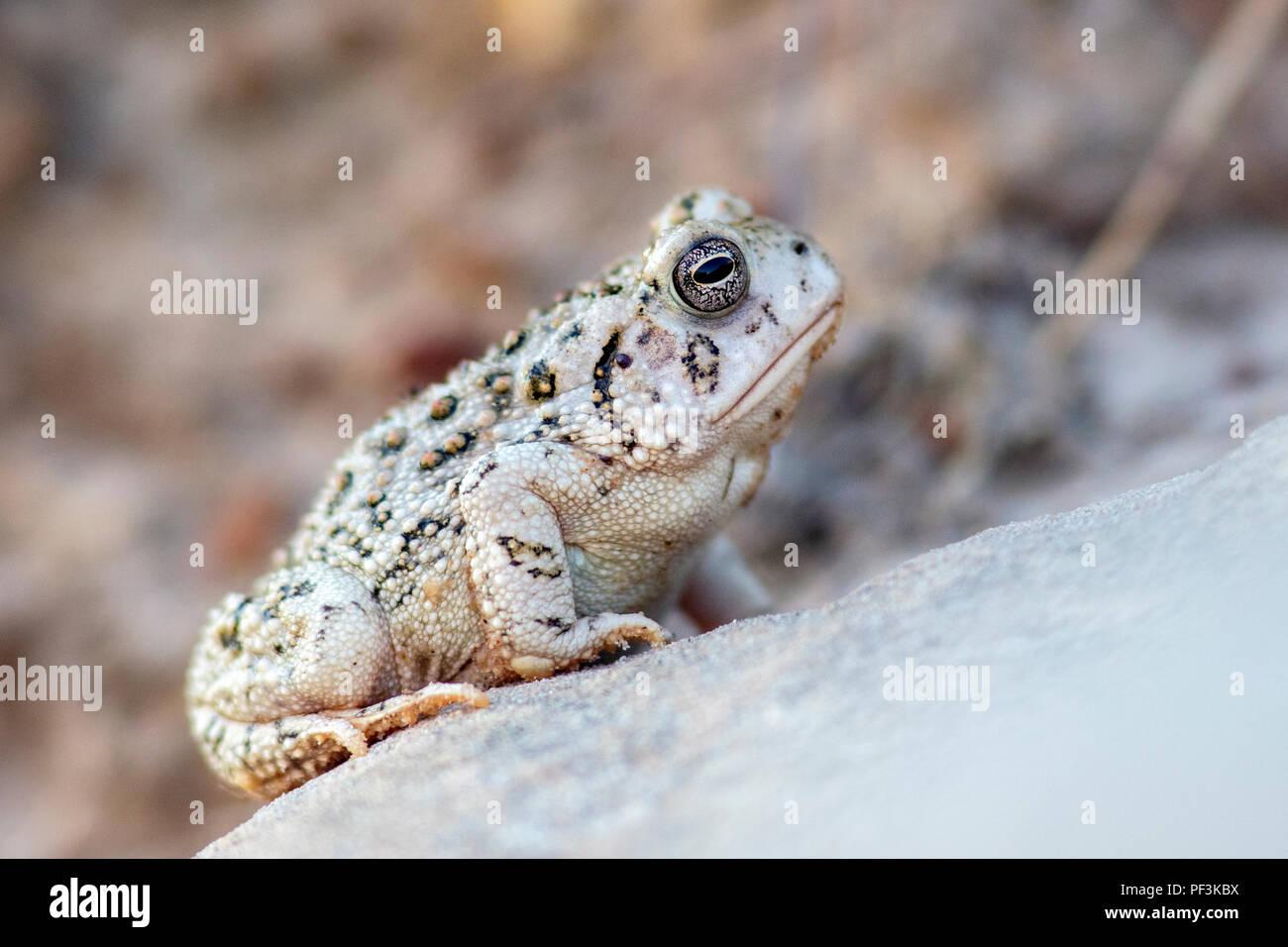 Toad Species (bufonidae) at Rock Town Natural Area - Lucas Park, Wilson Lake, Kansas Stock Photo