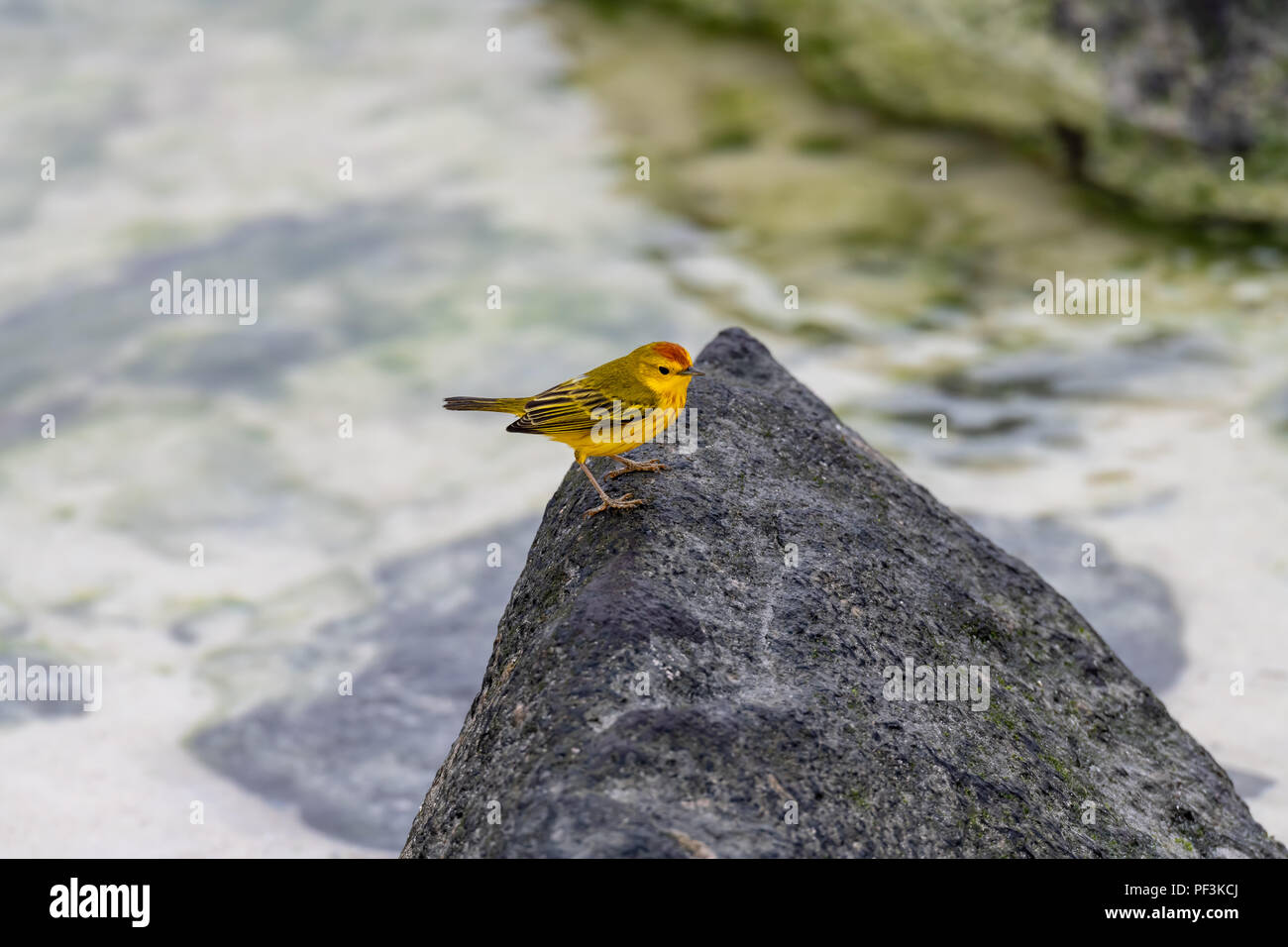 Male Galapagos yellow warbler (Dendroica petechia) - Stock Image