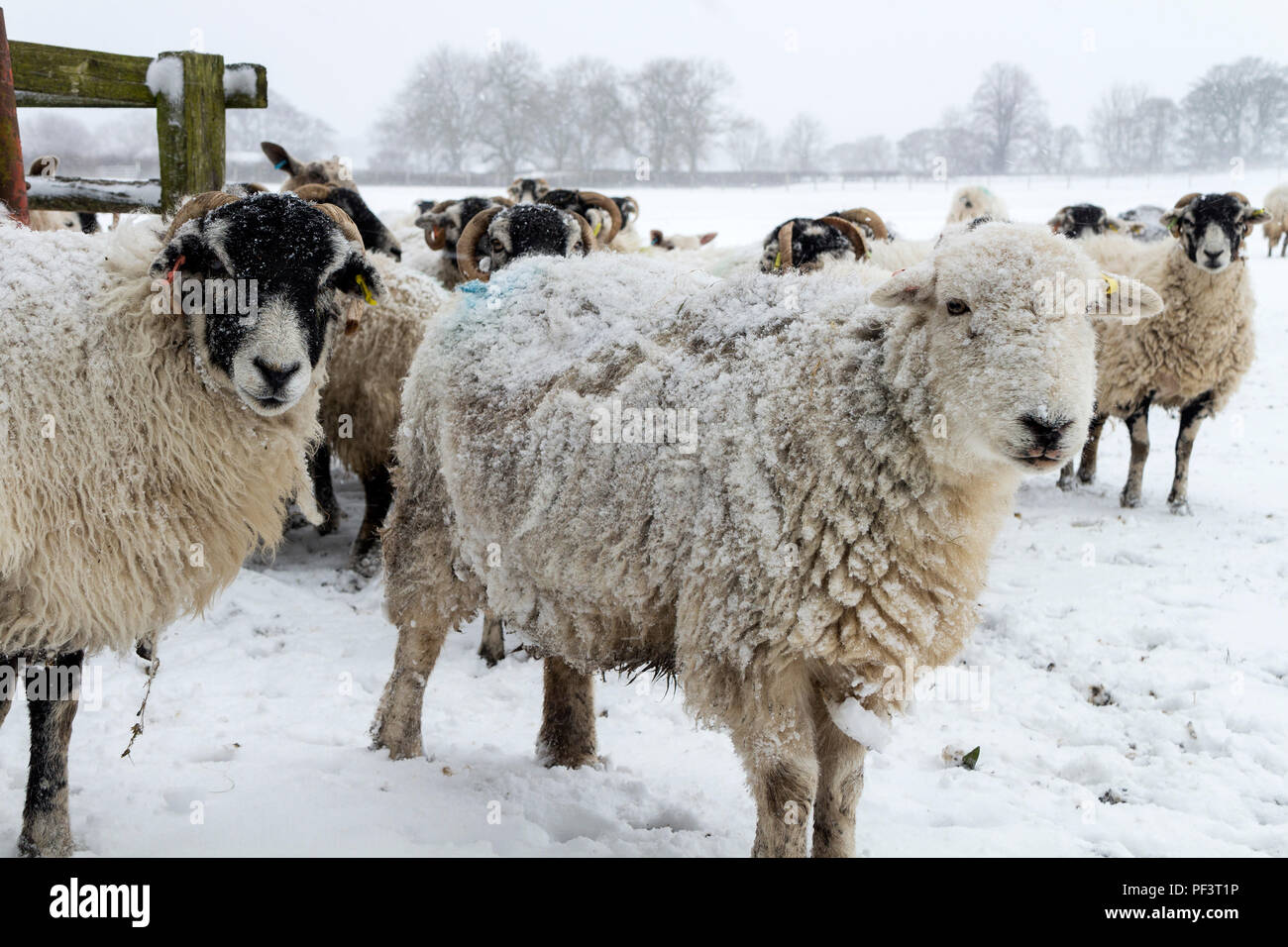 """Sheep Waiting for Their Feed During the Severe Winter Weather Known as the """"Beast From the East Part 2"""", Teesdale, County Durham UK - Stock Image"""