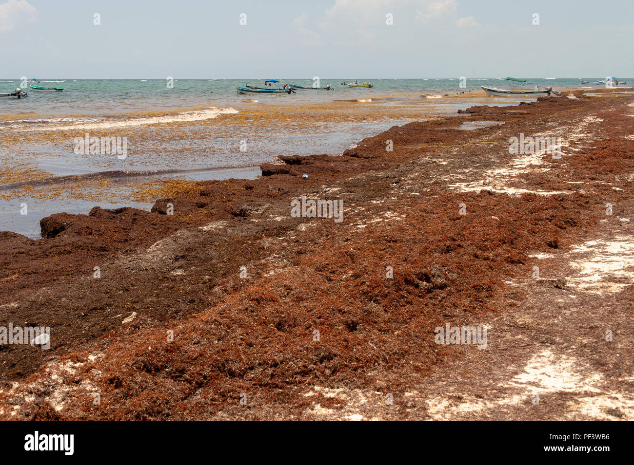 Tulum, Mexico - 12 August 2018: patches of Sargassum seaweed at