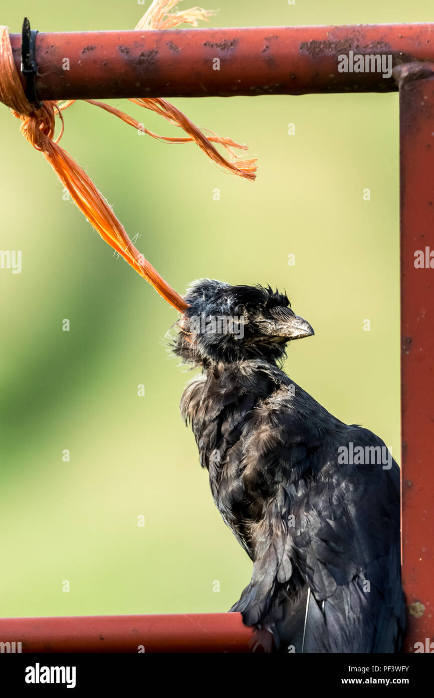 Dead crow hung up with twine by a Gamekeepers' gibbet from a farm gate to act as a deterrent to other crows. Often used in rural areas.  Portrait. - Stock Image