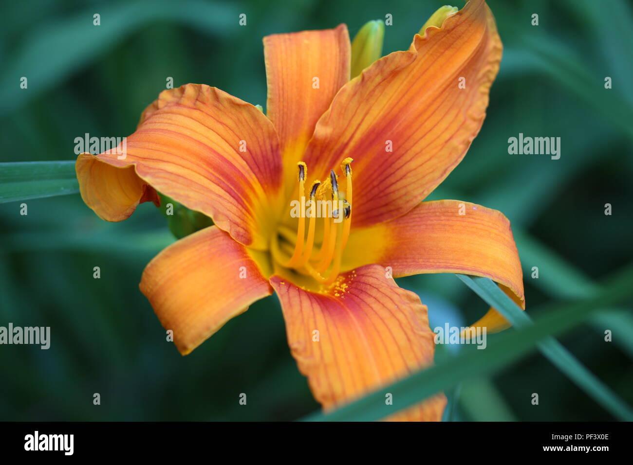 orange flower in a park - Stock Image