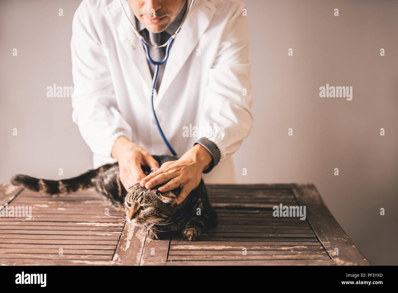 A veterinary doctor using a stethoscope on a tabby cat to check its health - Stock Image