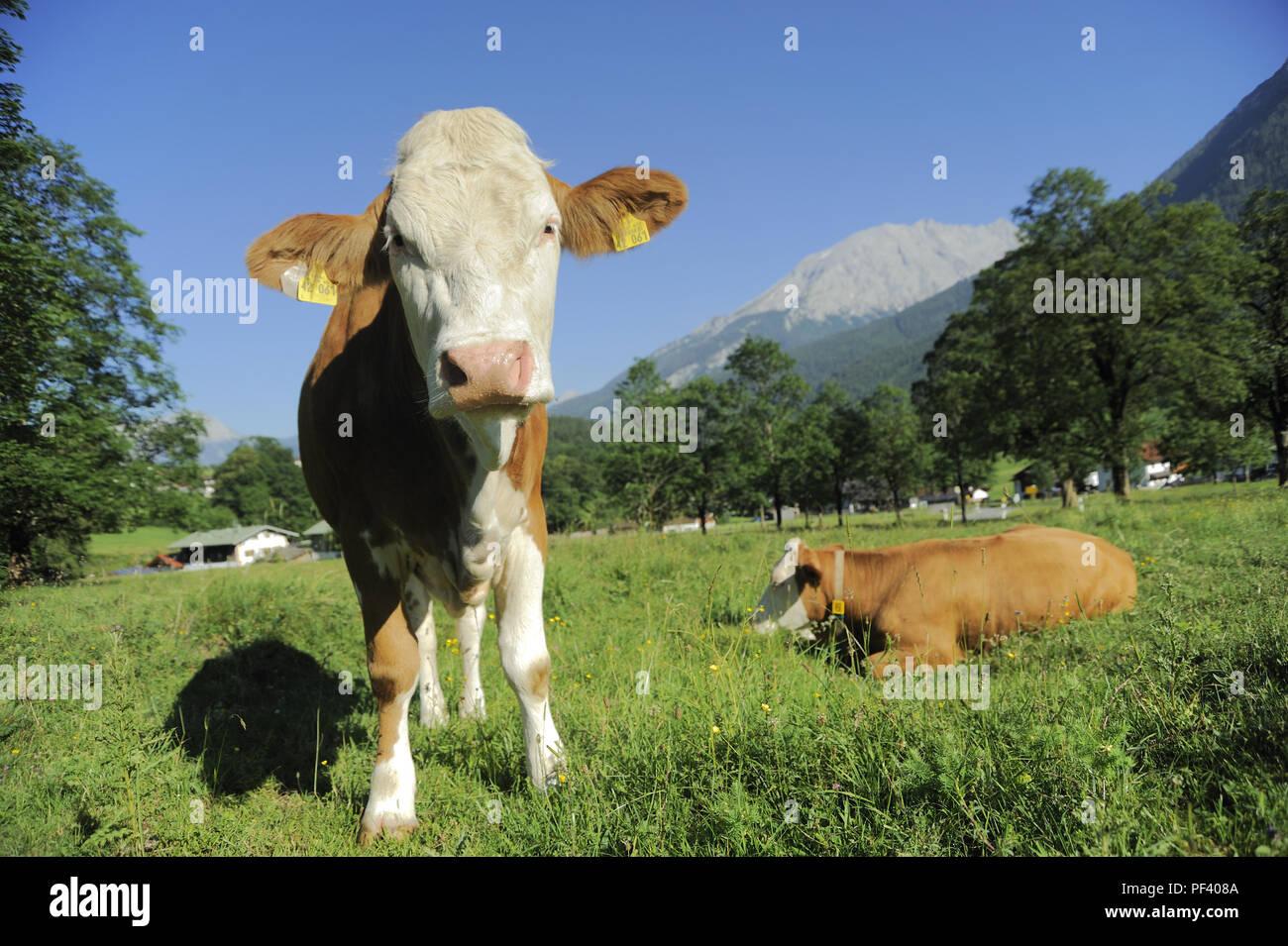 braune bayerische Rinder, Berchtesgadener Land, Oberbayern, Bayern, Deutschland   typical bavarian cattle on a meadow,. Bavaria, Germany Stock Photo