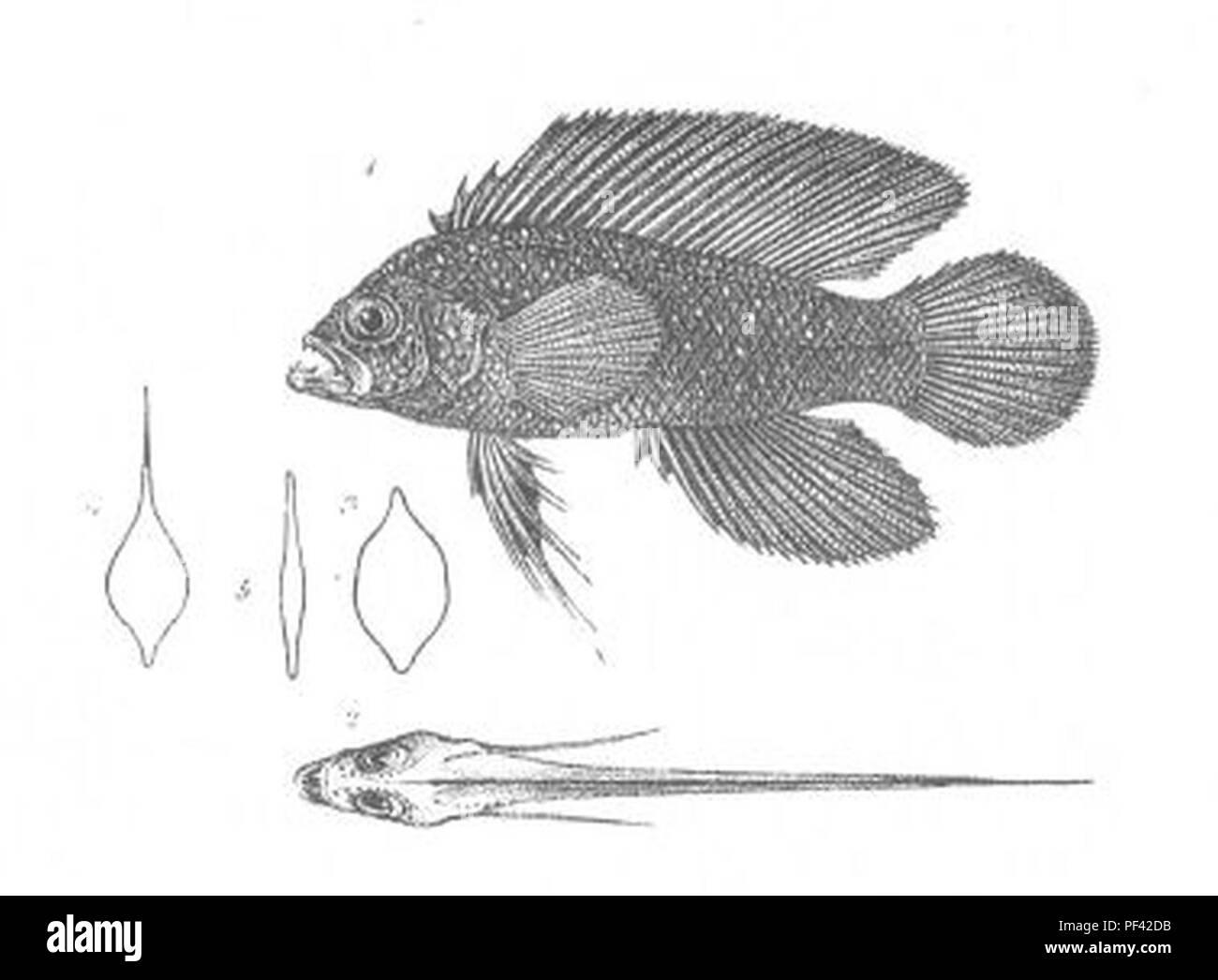Assiculus punctatus (Discoveries in Australia). - Stock Image