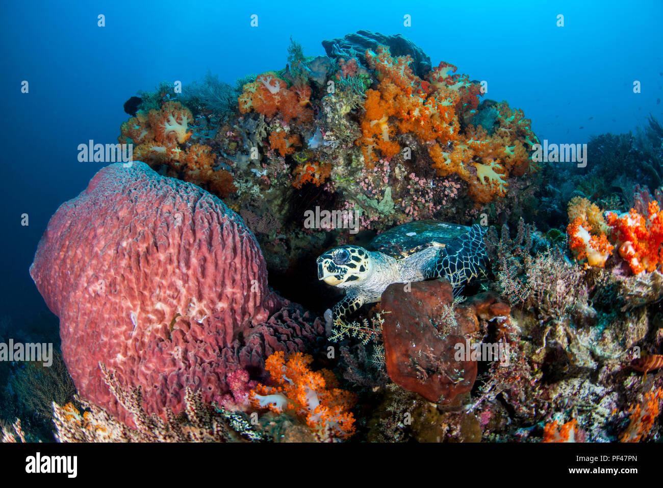 Hawksbill Sea Turtle Eretmochelys imbricata. Critically endangered - Stock Image