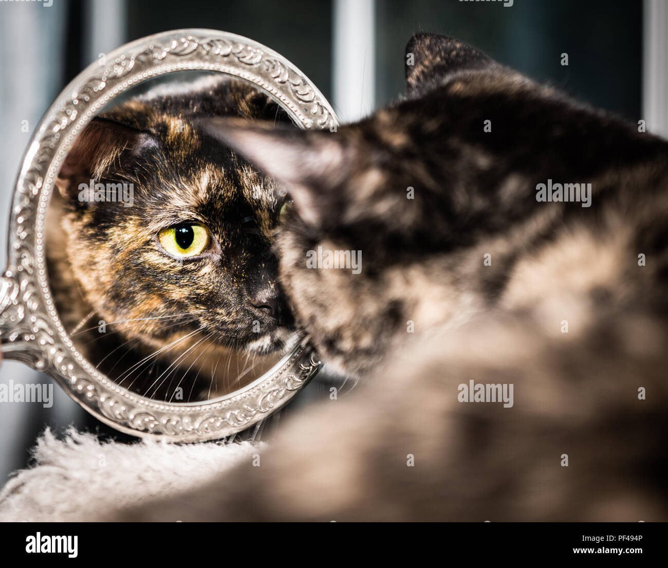 A beautiful tortoiseshell cat looks at herself in a mirror - Stock Image
