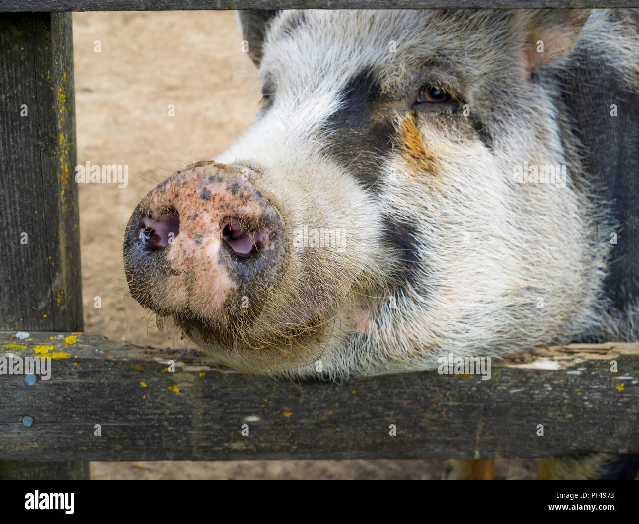 Gloucester Old Spot pig close up looking through bars on her sty Stock Photo