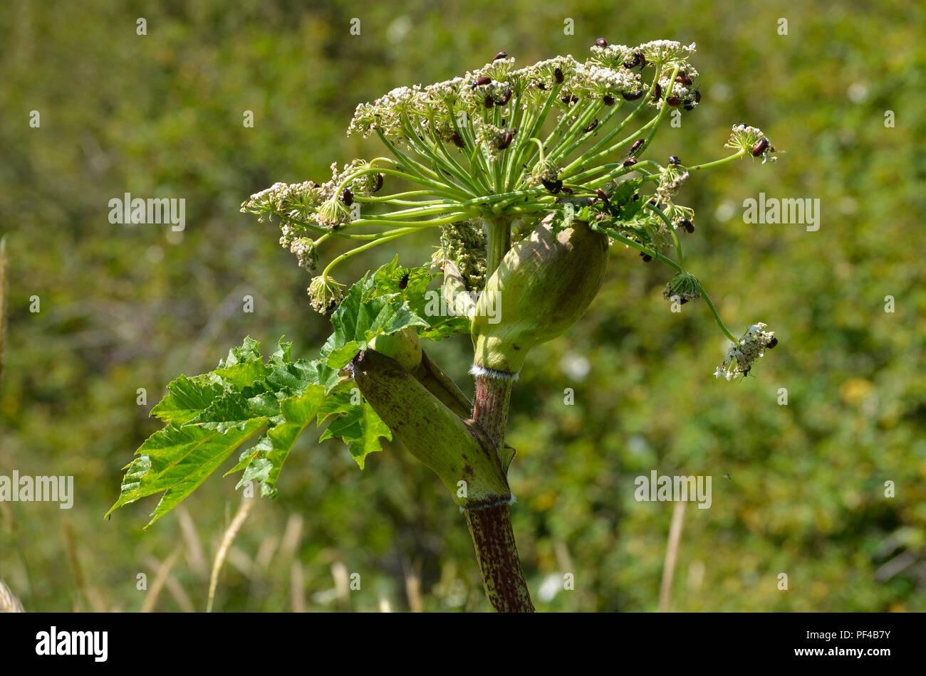 Euphorbiaceae plant teeming with beetles (Coleoptera) near Lahic, Azerbaijan - Stock Image