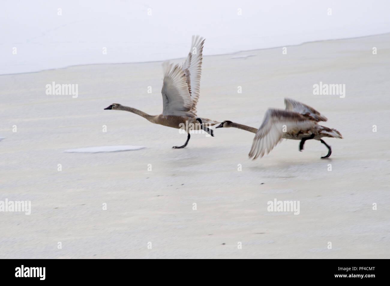 zwei Schwäne, Cygnus olor, beim Abflug vom zugefrorenen Teich, Winter | Cygnus olor, two swans taking off, winter time Stock Photo