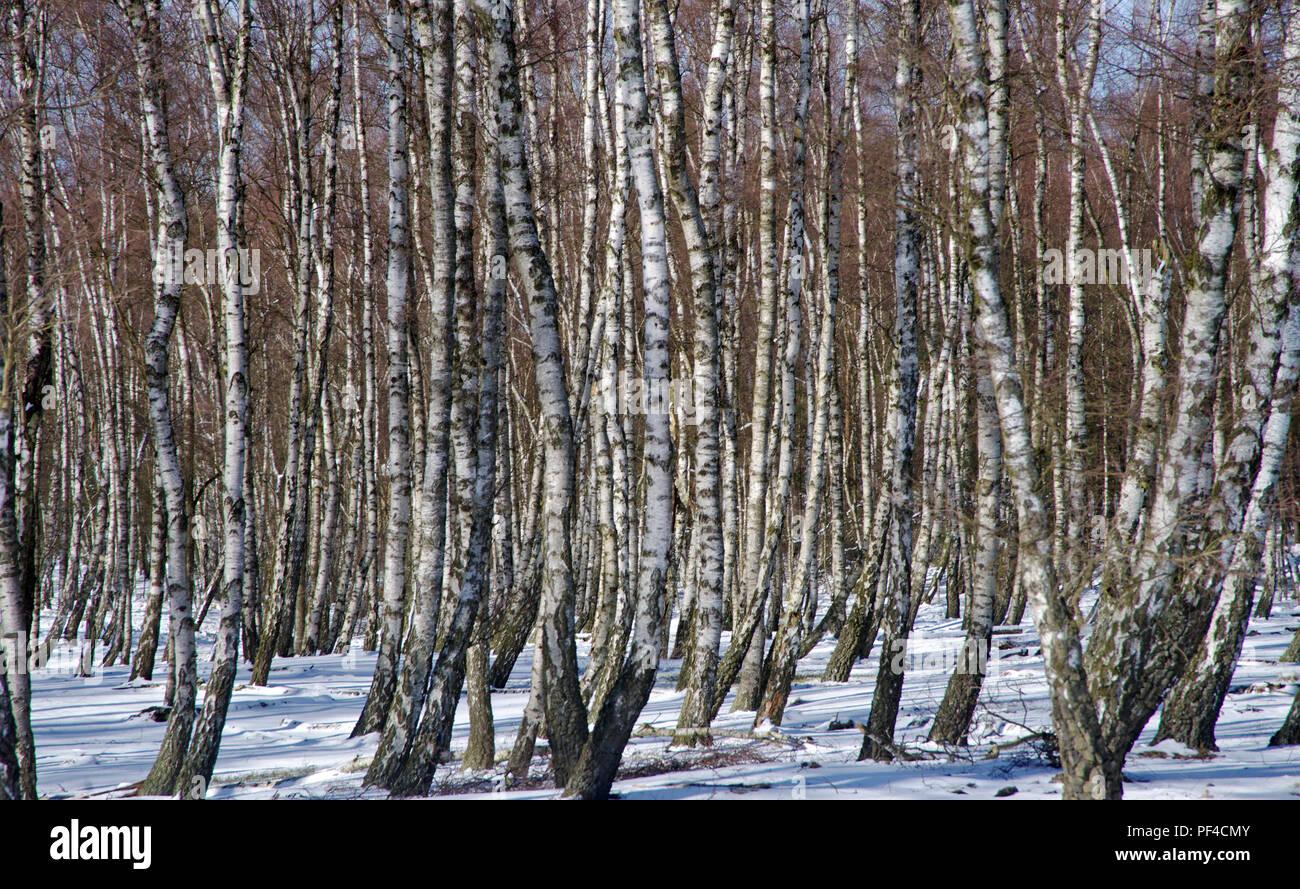 Birkenstämme im Winter | birch-trees in Winter time - Stock Image