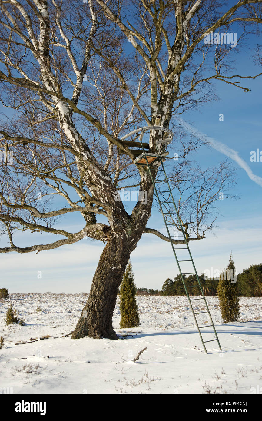 Birke mit Hochsitz im Winter in der Heide | birch-tree with deerstand in winter time - Stock Image