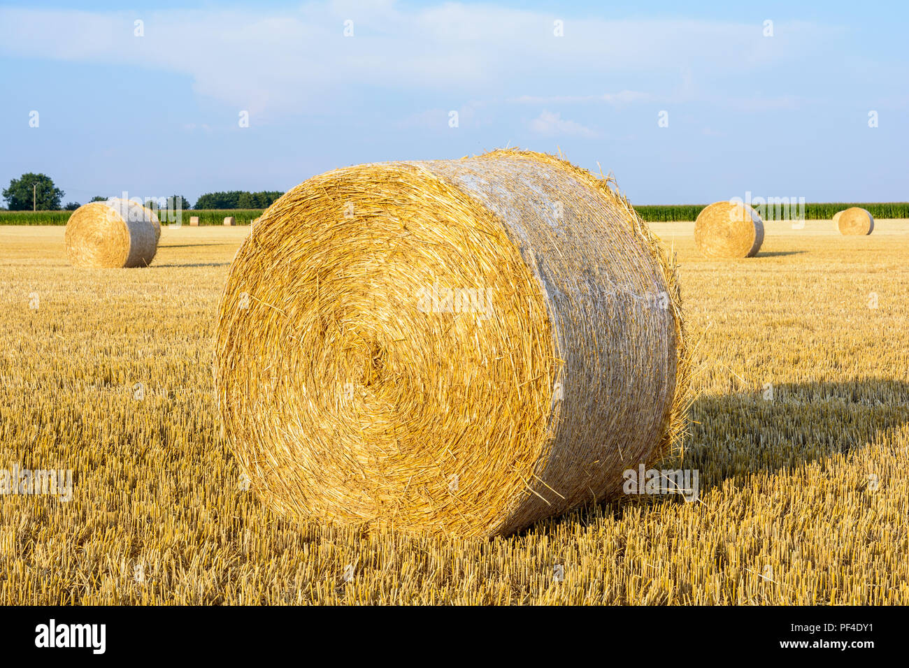 Round Bales Of Straw Scattered At Sunset In A Field Of Wheat - Bales