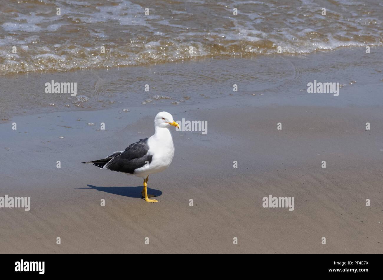 Seagull on the River Thames, London England United Kingdom UK - Stock Image