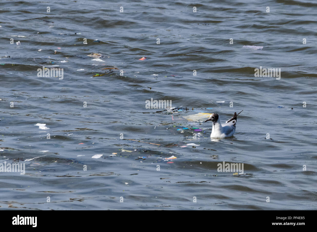 Seagull surrounded by plastic waste on the River Thames, London England United Kingdom UK - Stock Image