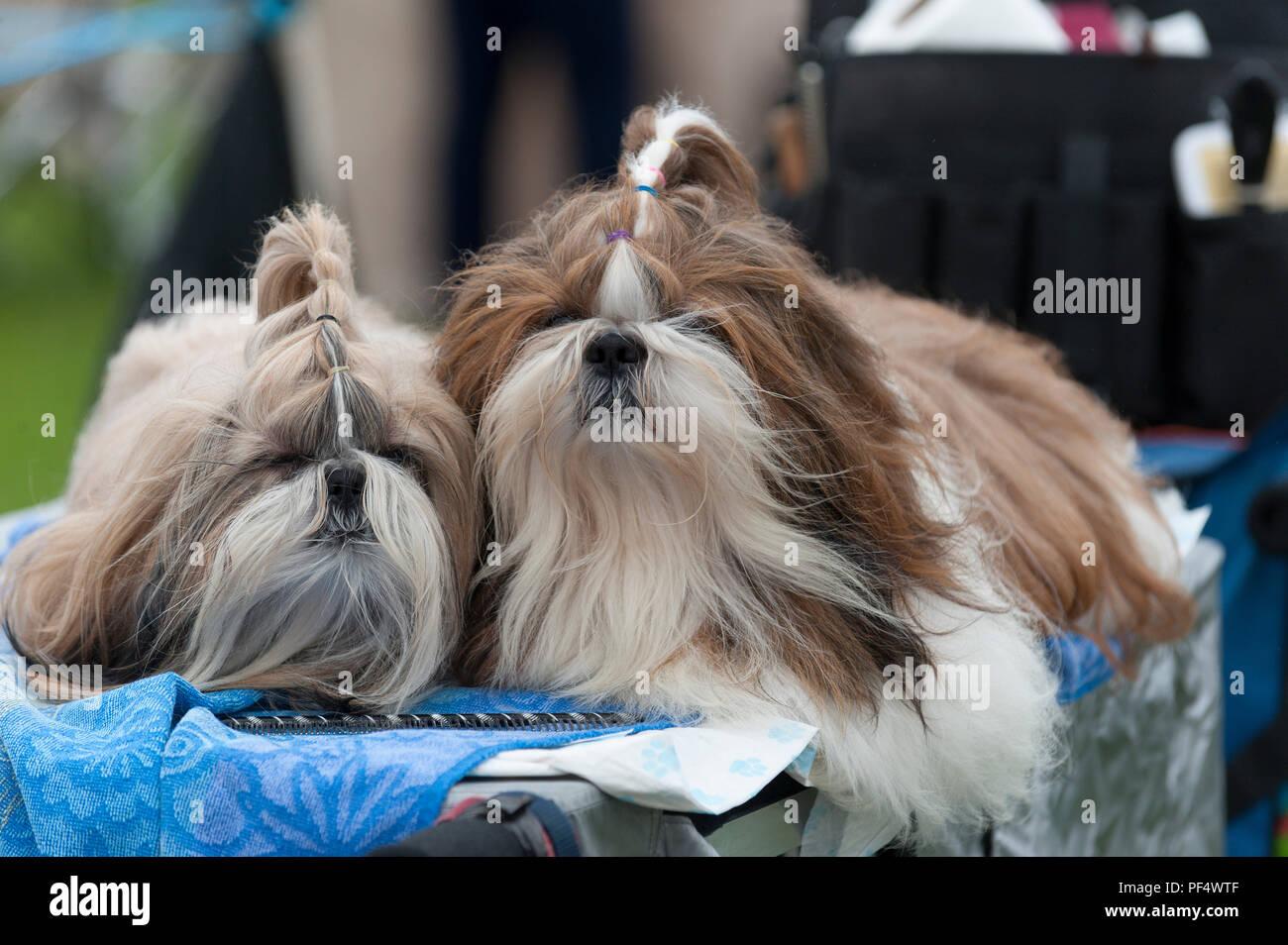 Llanelwedd Powys Uk 19th August 2018 Two Shih Tzu Dogs Wait For