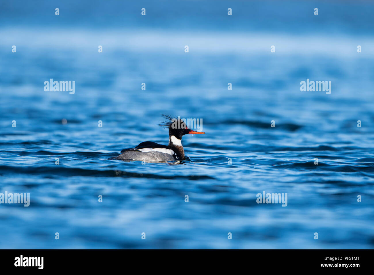 A Red Breasted Merganser male swimming on sea, Loch Fleet, Sutherland,Scotland,UK - Stock Image