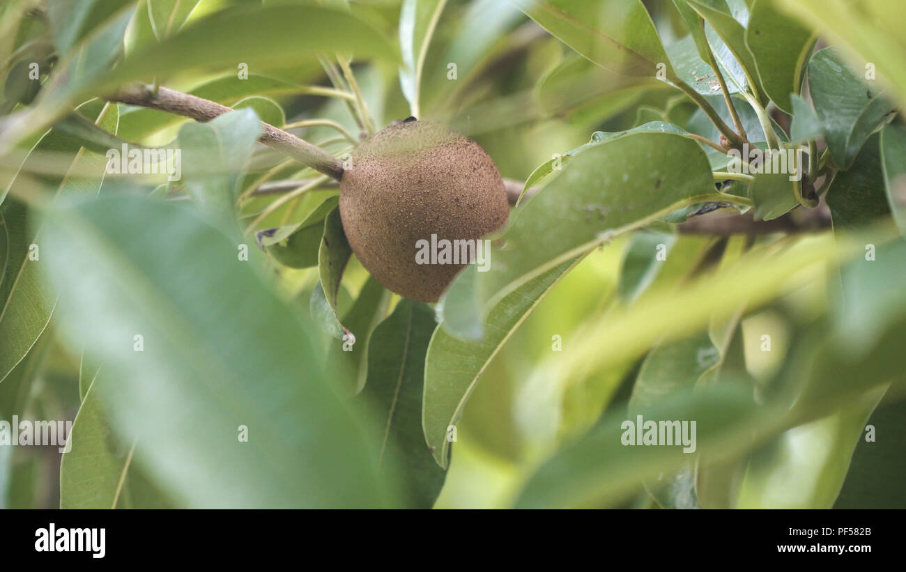 Kiwi fruit on a tree branch in tropical garden. Ripe fruits of kiwi plant organic cultivation. - Stock Image