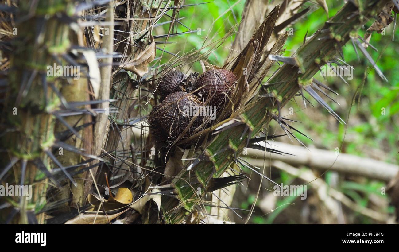 Salak bunch or known as Snake fruit on tree, thin brown peel snake pattern, juicy fruit. Bali,Indonesia. - Stock Image