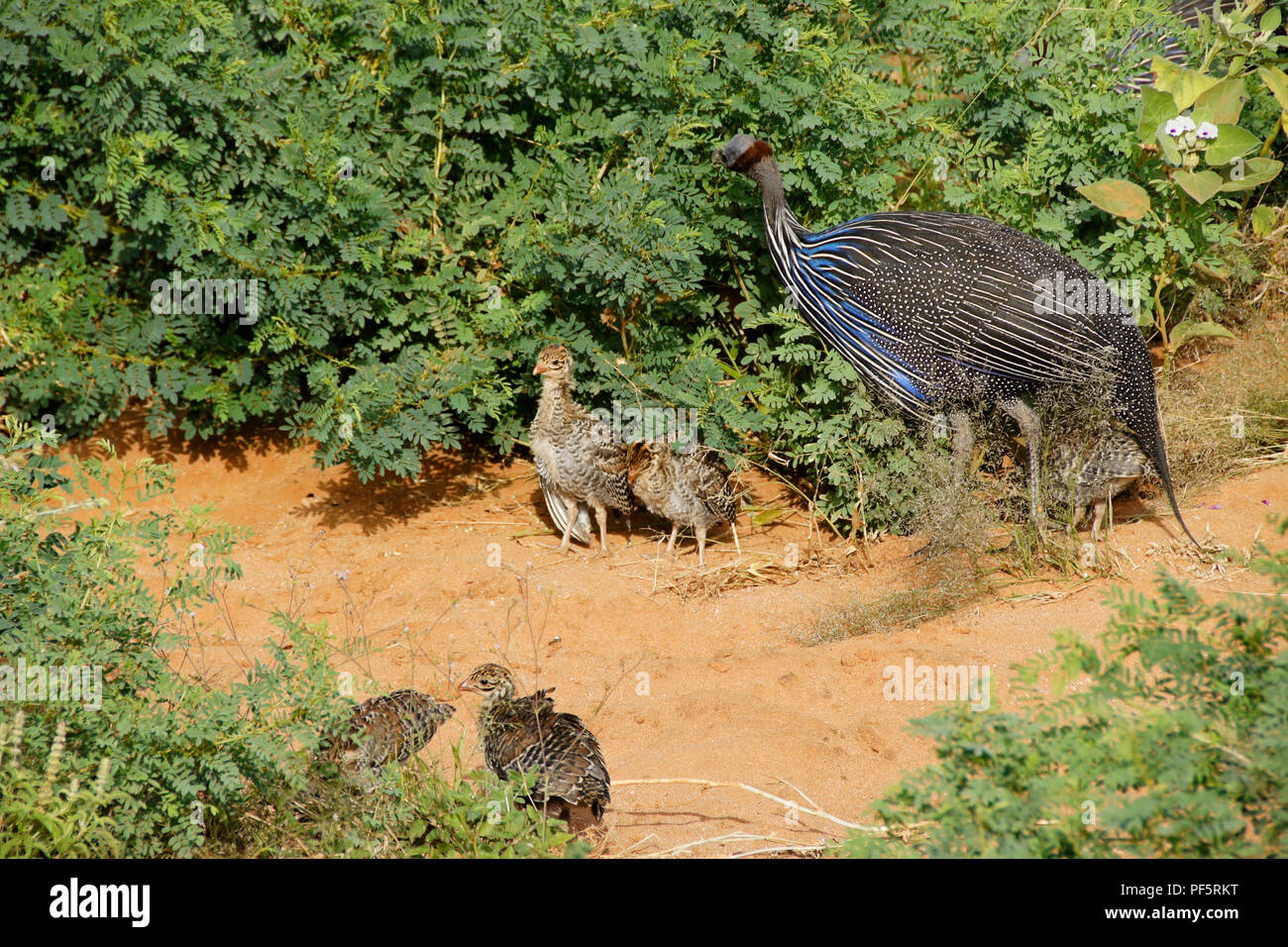 Guinea Chicks Stock Photos Guinea Chicks Stock Images Alamy
