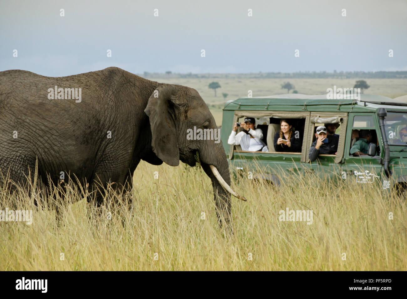 Tourists in safari vehicle photographing elephant up close, Masai Mara Game Reserve, Kenya Stock Photo