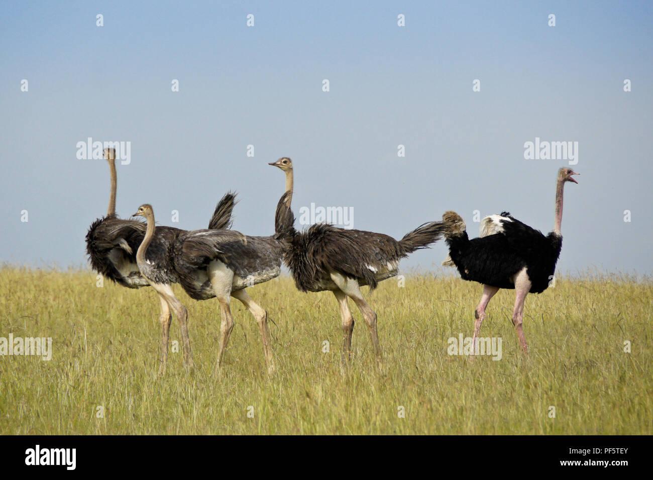 Male Masai ostrich rounding up juvenile ostriches, Masai Mara Game Reserve, Kenya - Stock Image