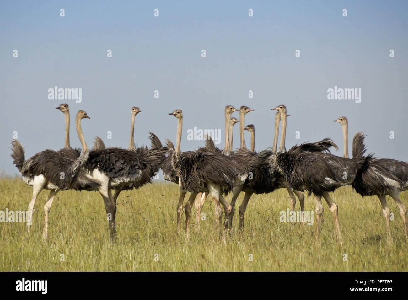 Flock of juvenile Masai ostriches, Masai Mara Game Reserve, Kenya - Stock Image