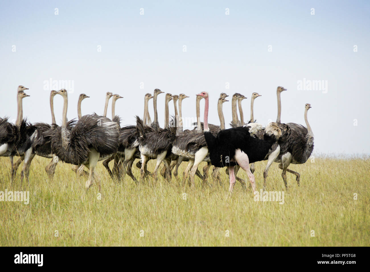 Male Masai ostrich rounding up a flock of juvenile ostriches, Masai Mara Game Reserve, Kenya - Stock Image