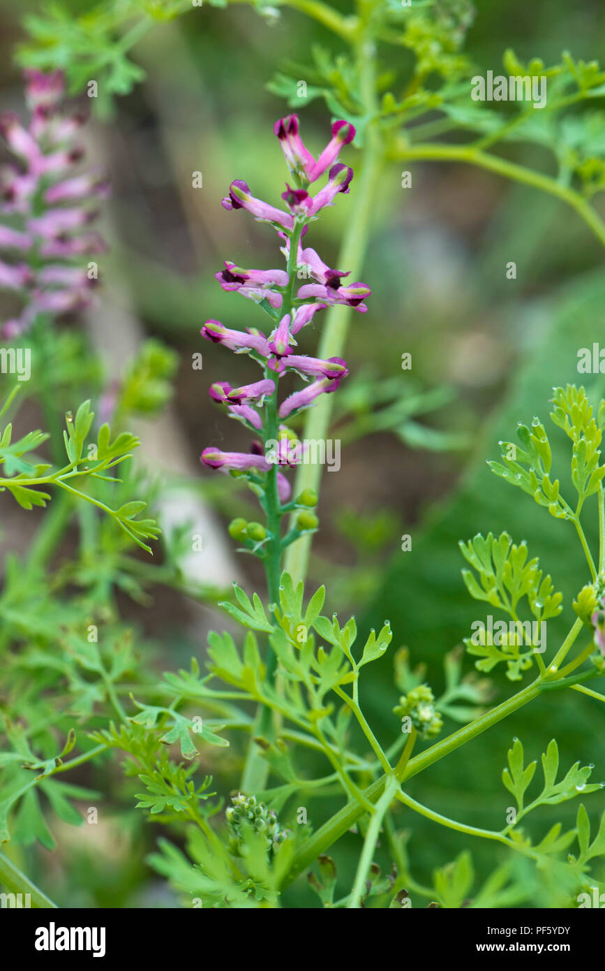 Pink and purple flowers on fumitory, Fumaria officinalis, plant, a herbaceous annual weed, Berkshire, May - Stock Image