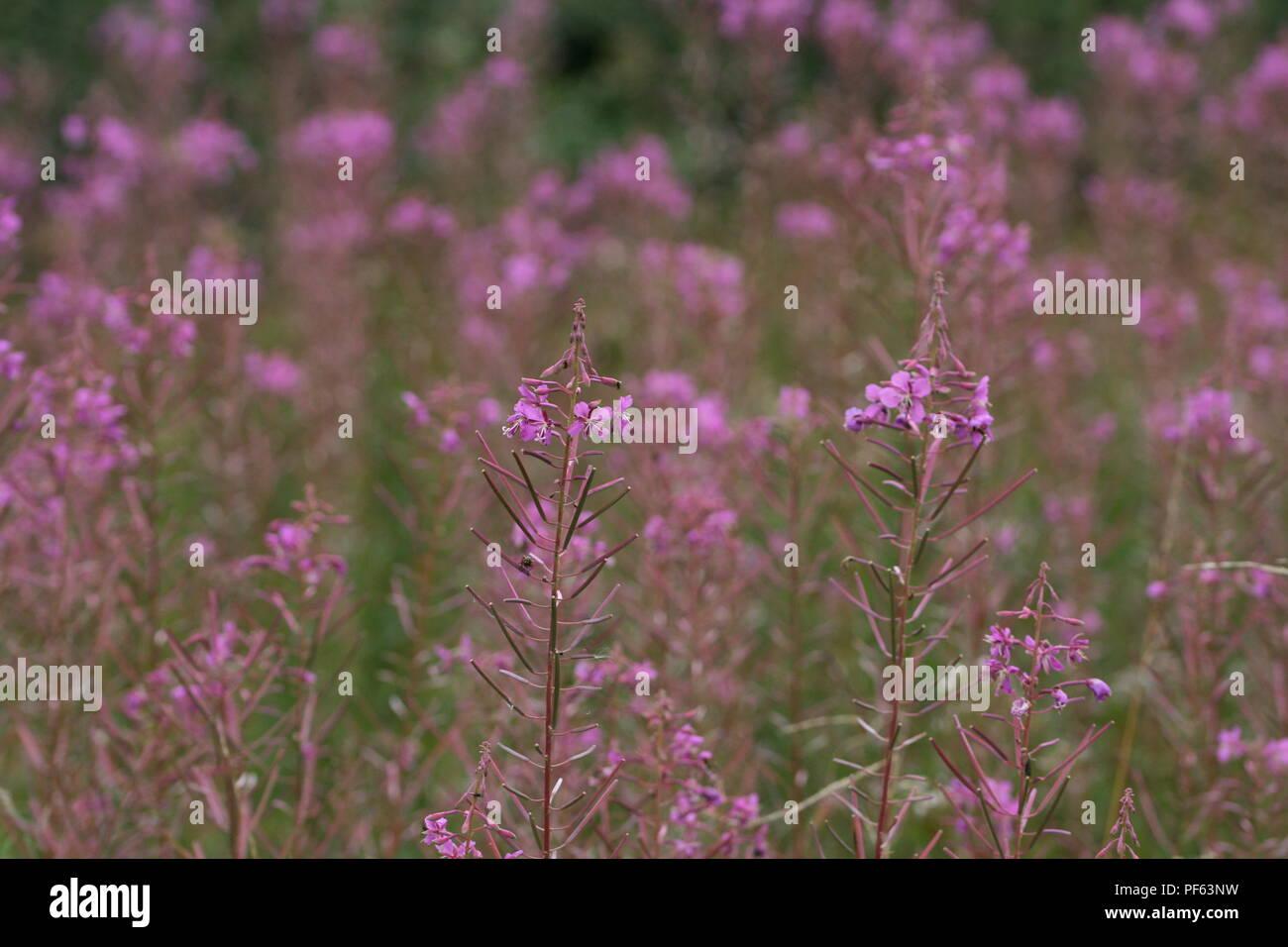 Rosebay Willowherb (Chamaenerion angustifolium) Stock Photo