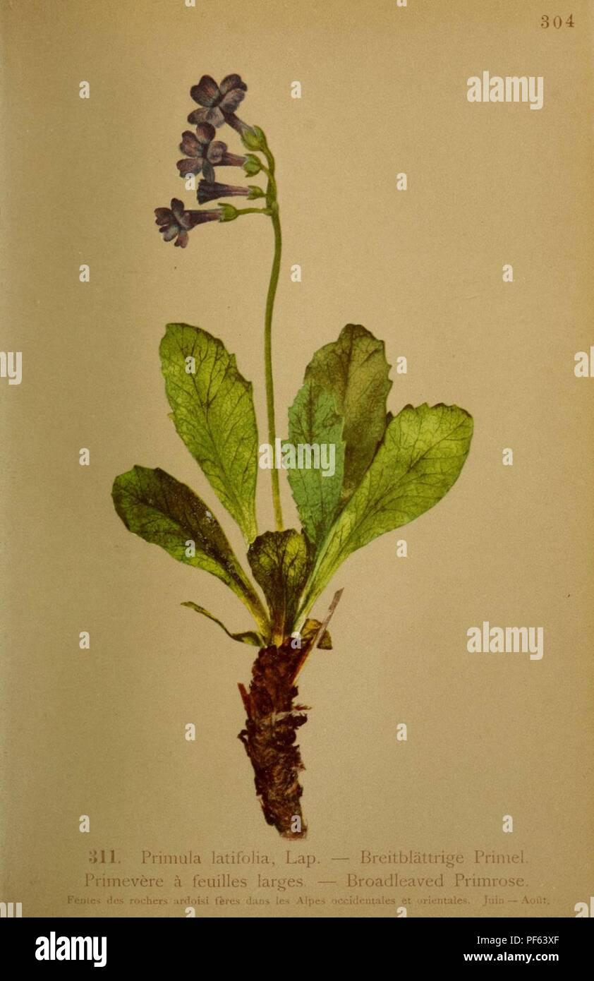 Atlas de la flora alpine (Pl. 311) Stock Photo