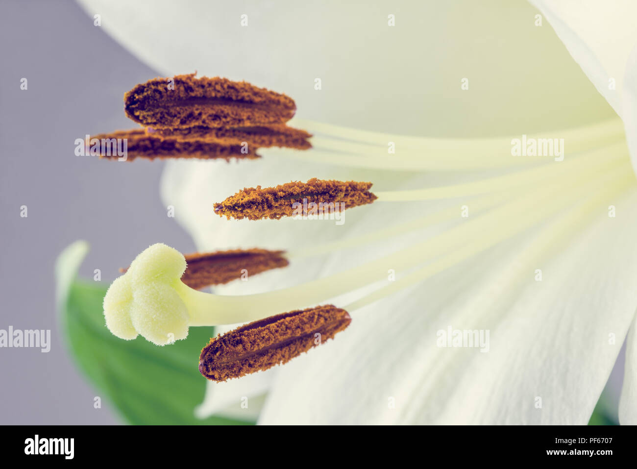 Macro closeup of the stamens and pistil of a fresh white tiger lily flower, retro effect faded look. - Stock Image