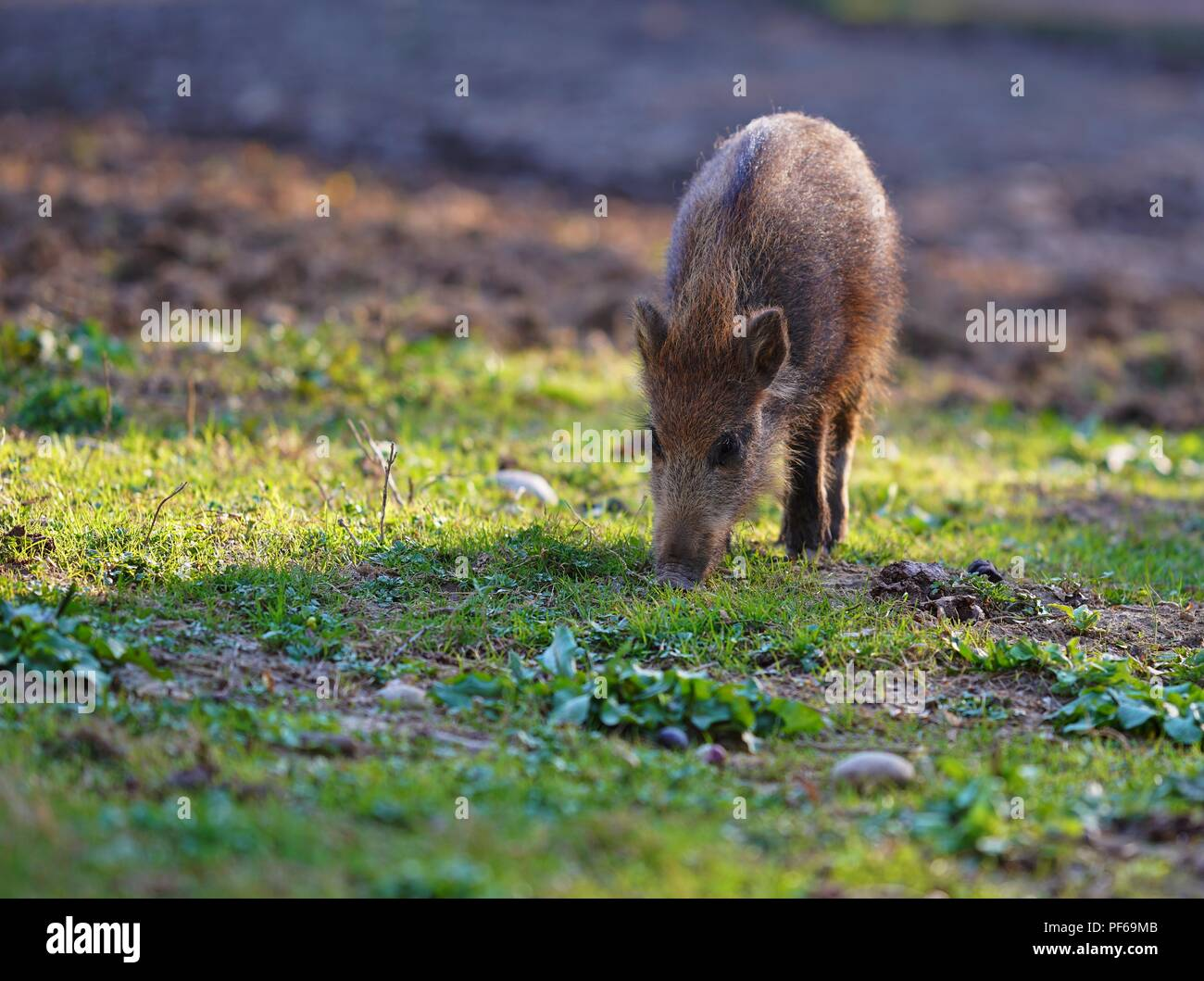 Cute little wild piglet, grazing in the sun - Stock Image