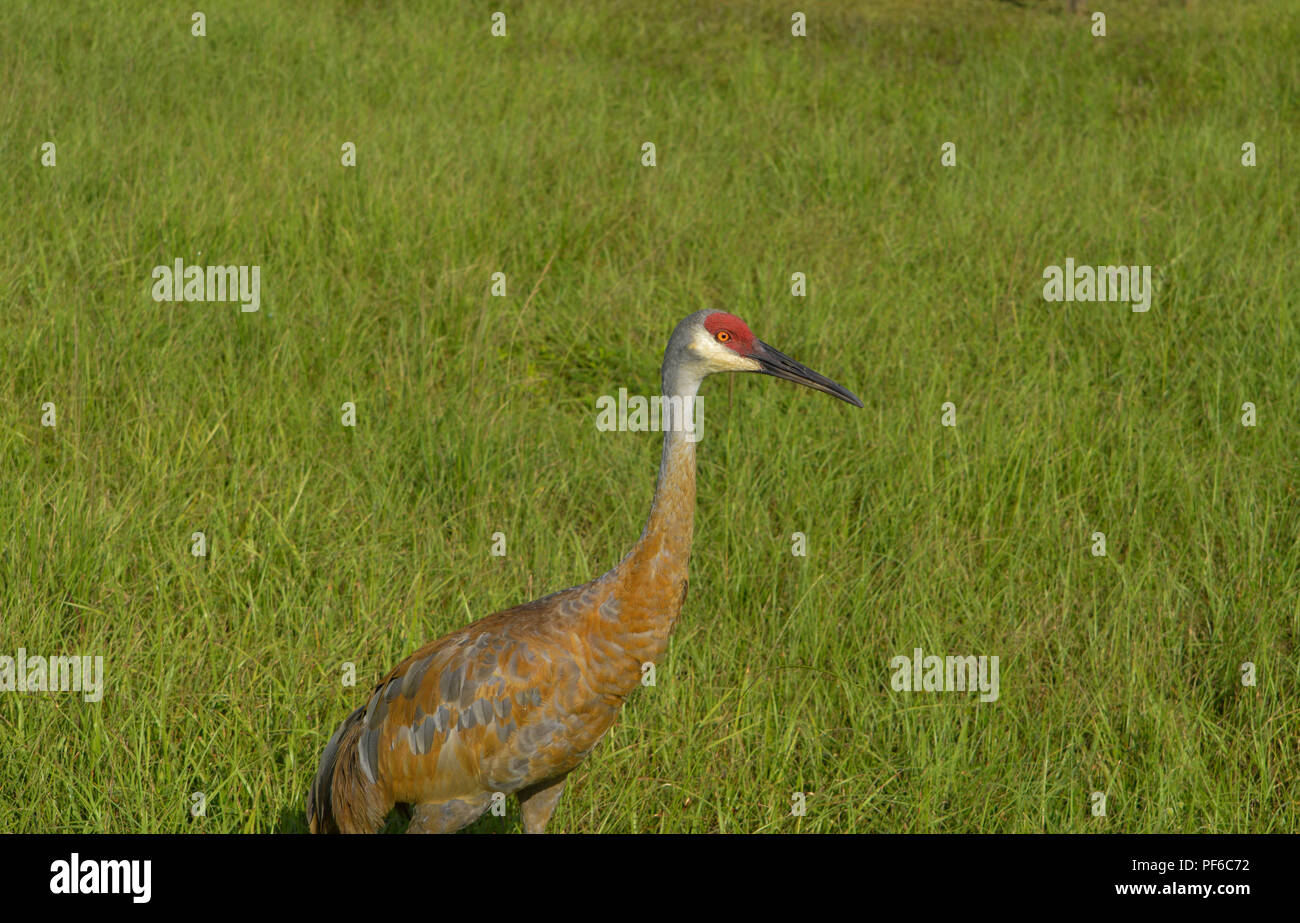 Bird Watching Sand Hill Cranes In Florida - Stock Image