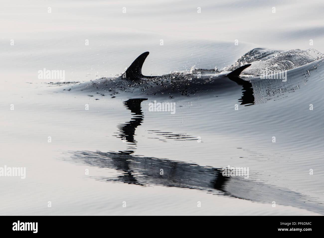 A quick and agile Short-Beaked Common dolphin, Delphinus delphis, swims in the north Atlantic Ocean off Cape Cod, Massachusetts. - Stock Image