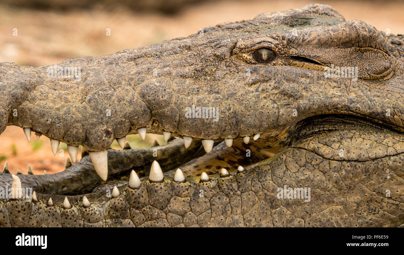 close up of a crocodile with open mouth and teeth. This croc lives in a farm and is a breeder to make babies for meat and skin in south afric. - Stock Image