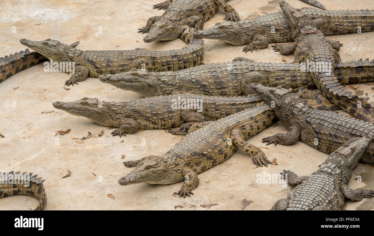 crocodile at a croc farm . These juveniles are used for meat and leather. - Stock Image