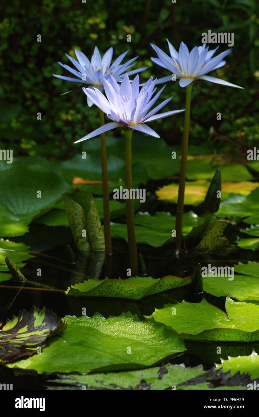 blue  nymphaeas, nympheas bleus rustiques  Lotus bleus, blue lotus, Blaue Ägyptische Seerose, ninfa azul, flor de loto azul, blaue Lotusblume - Stock Image
