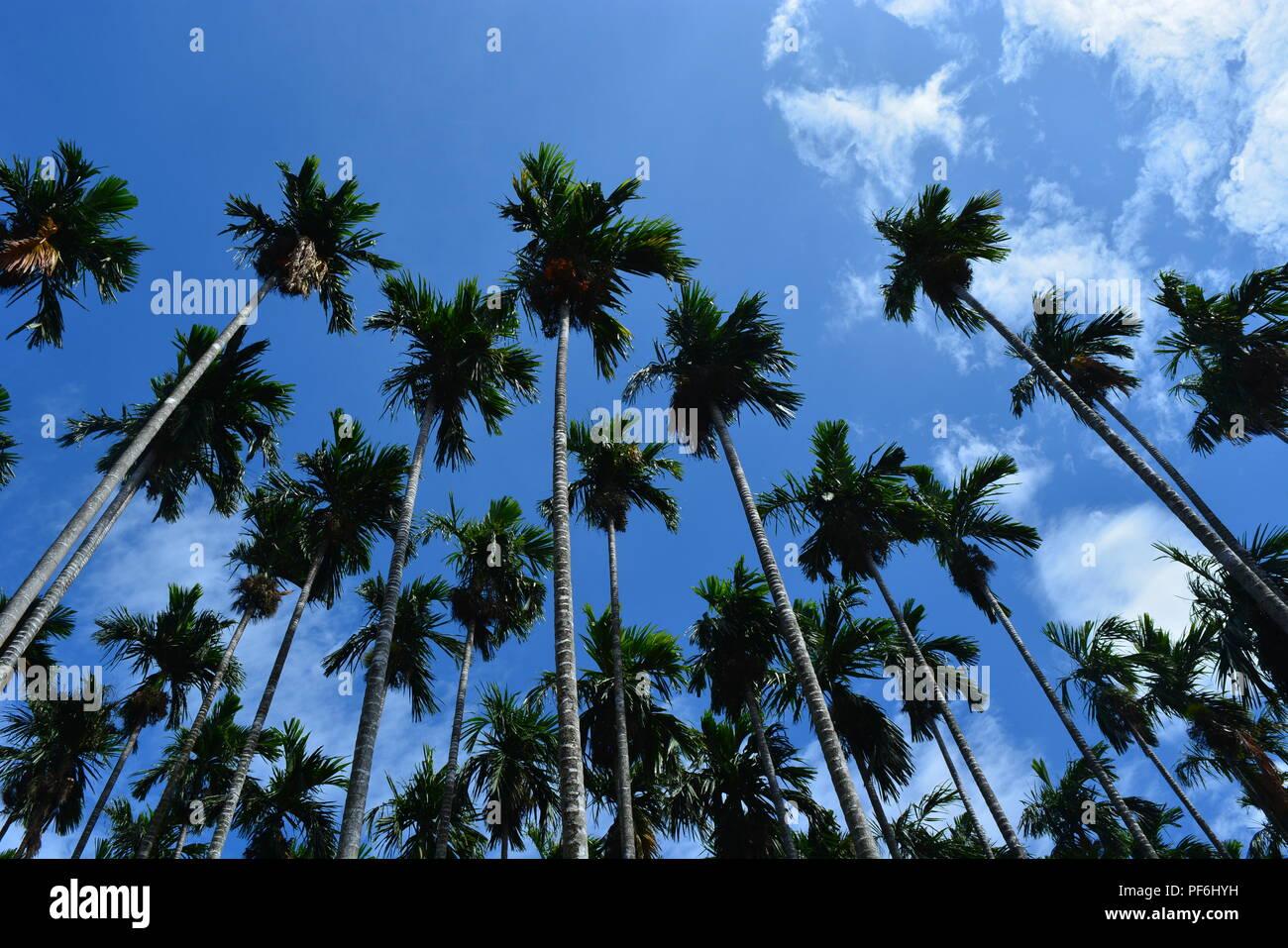 Areca nut tree - Stock Image