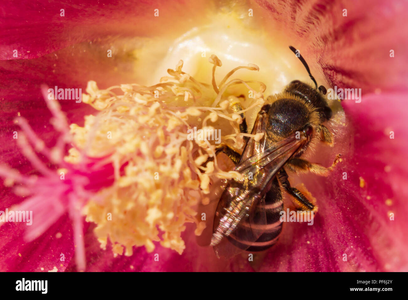 Honey Bee  Apis mellifera feeding on nectar and collecting pollen on a hollyhocks Alcea flower, June 2018 - Stock Image