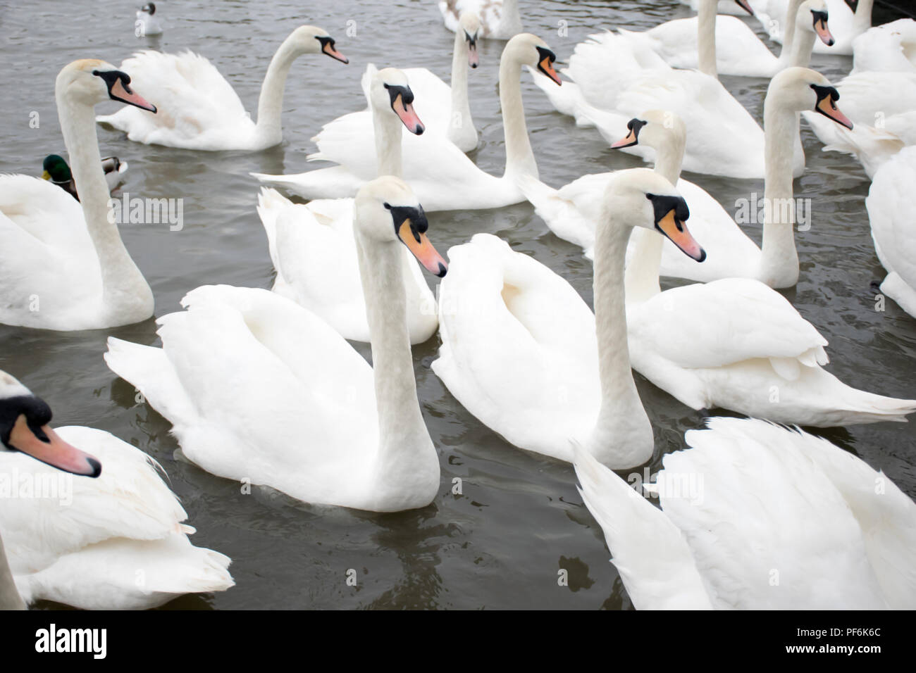 a bevy of swans gathering in a lake awaiting for food Stock Photo