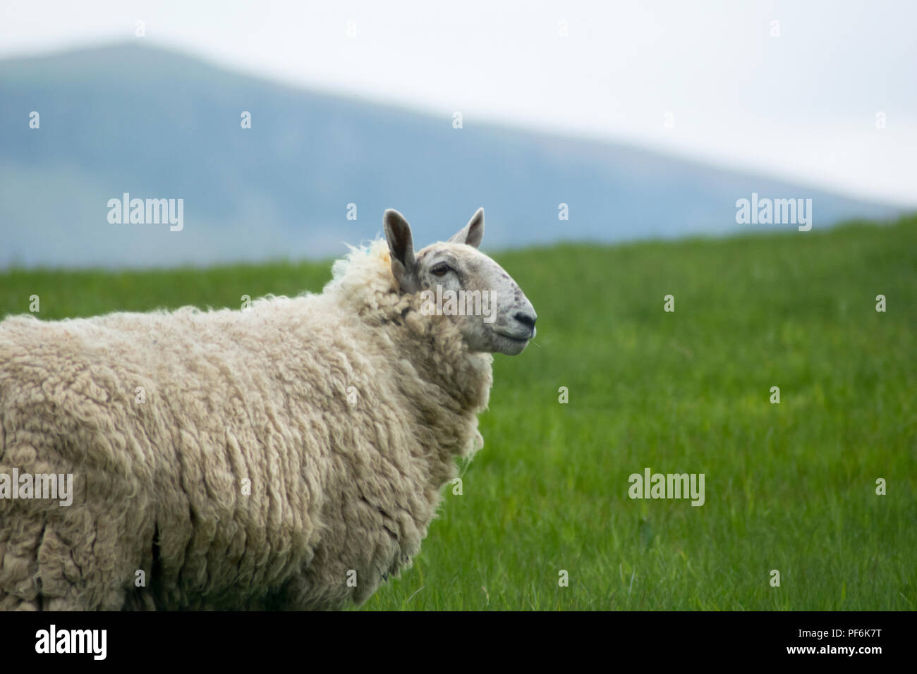sheep in the irish country side grazing outdoors in a meadow - Stock Image