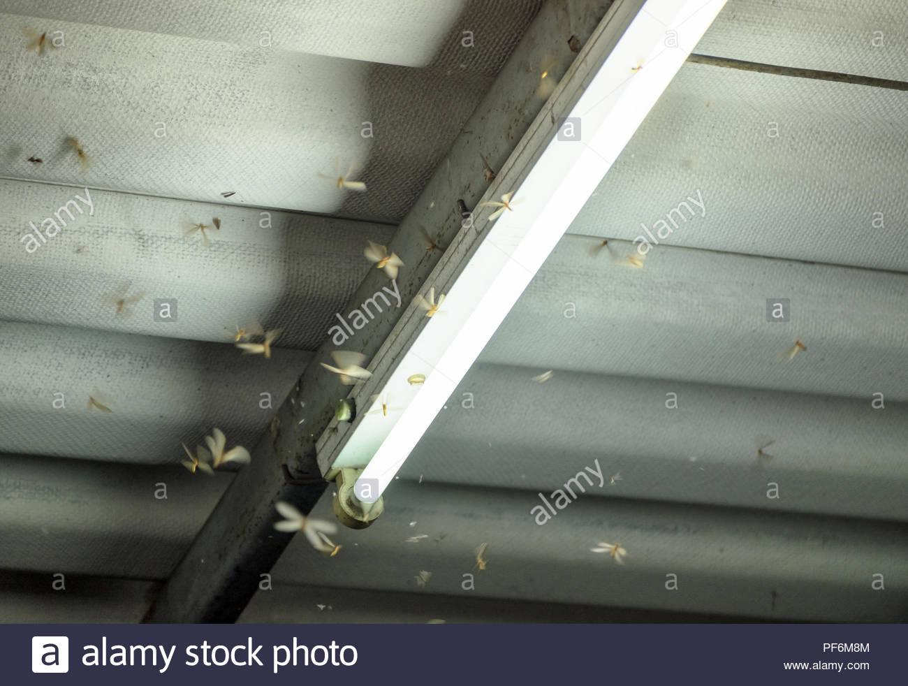 Termite crowd flying around lamp lighting front house in damp weather - Stock Image