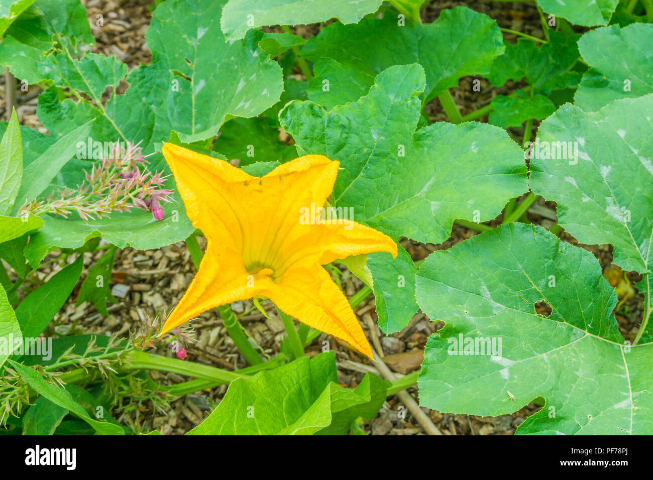Big Yellow Flower On A Pumpkin Plant With Huge Leaves Stock Photo