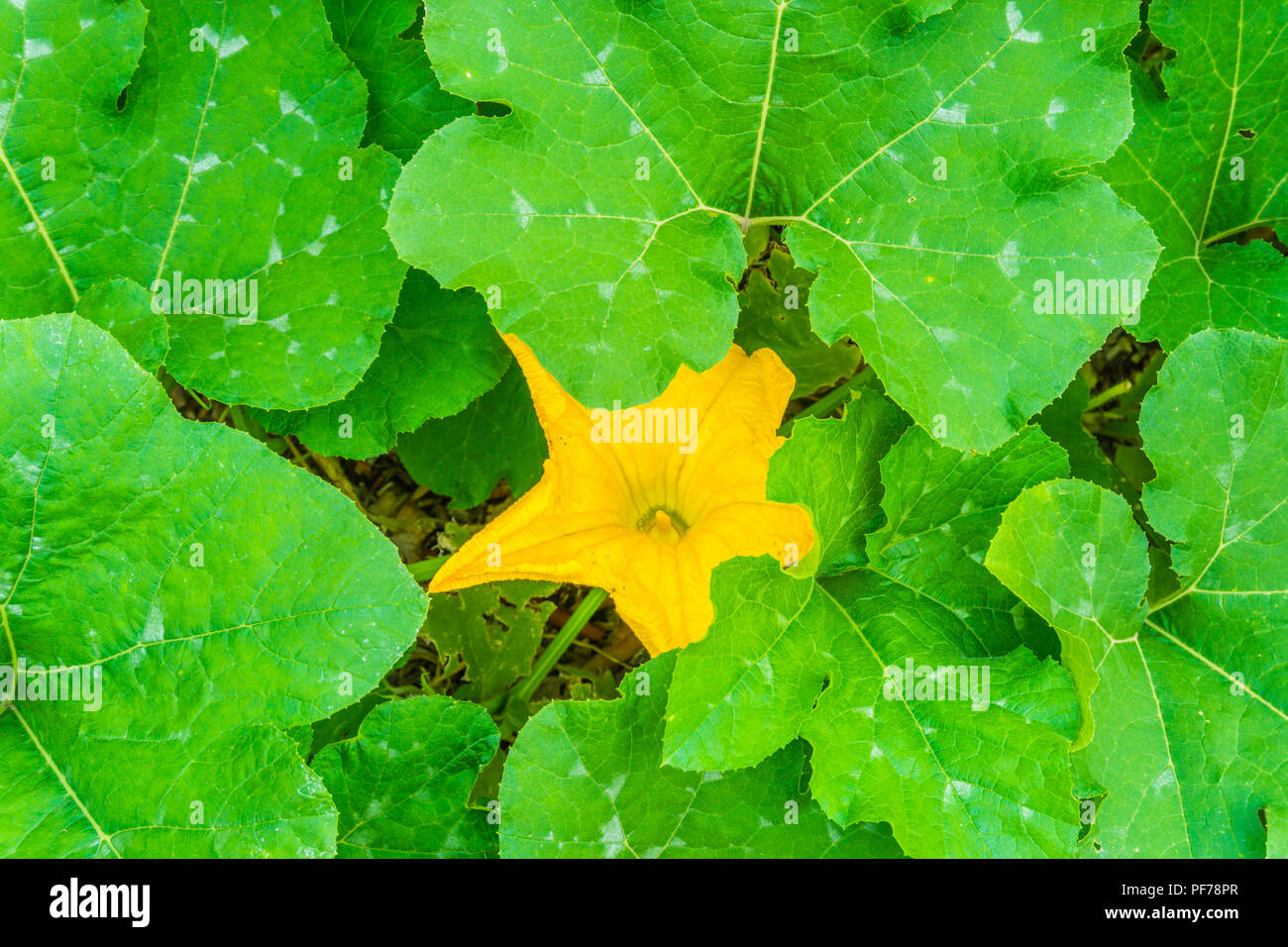 Plant With Huge Leaves Stock Photos Plant With Huge Leaves Stock