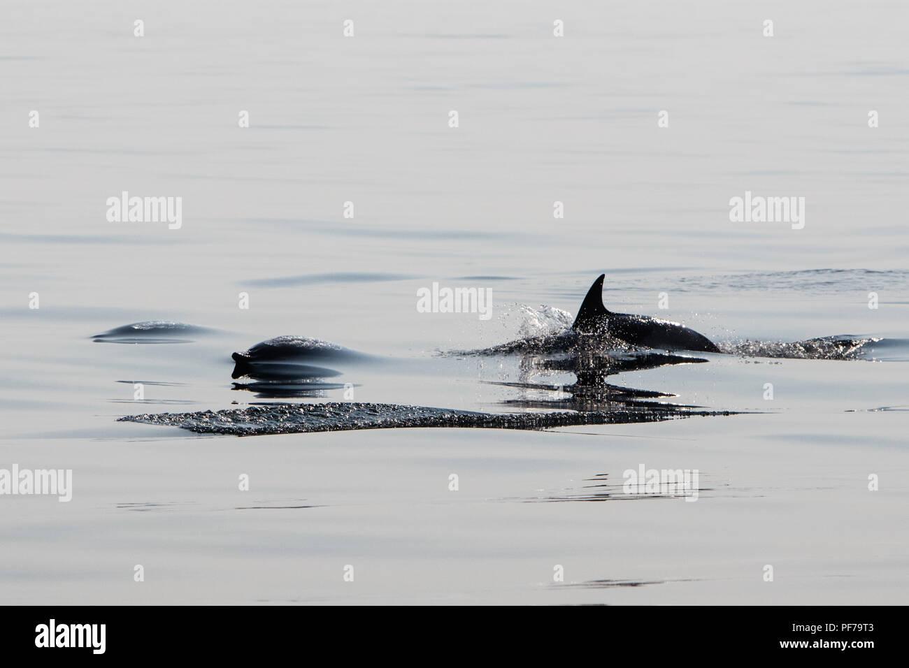 Quick and agile Short-Beaked Common dolphins, Delphinus delphis, swim in the north Atlantic Ocean off Cape Cod, Massachusetts. - Stock Image