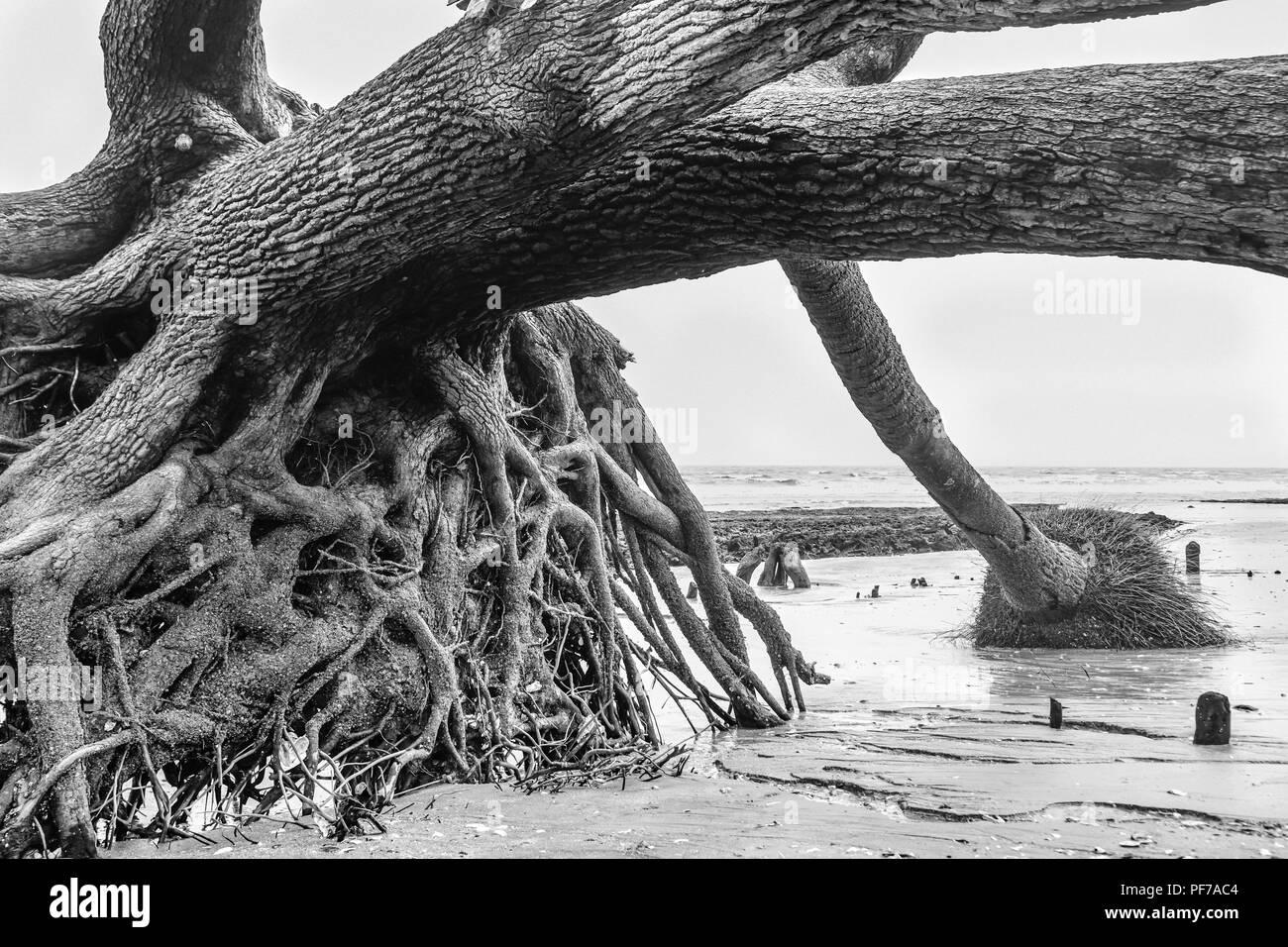 Ecology: global warming - rising sea levels - beach erosion - and hurricane damage are killing the trees of Botany Bay on Edisto Island South Carolina - Stock Image