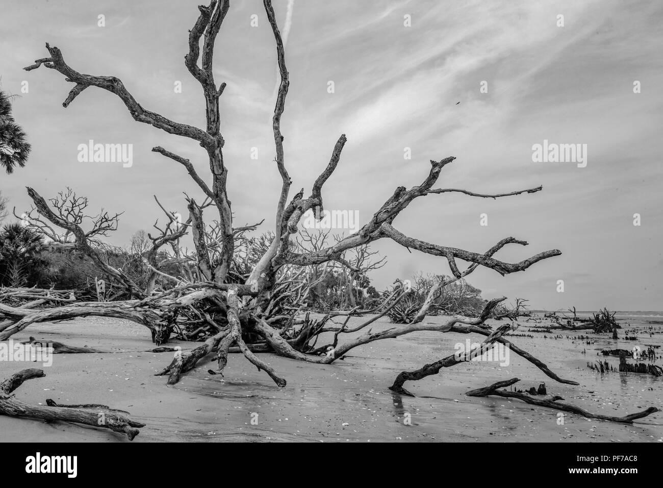 Ecology: global warming - rising sea levels - beach erosion - and hurricane damage are killing the trees of Botany Bay on Edisto Island South Carolina Stock Photo